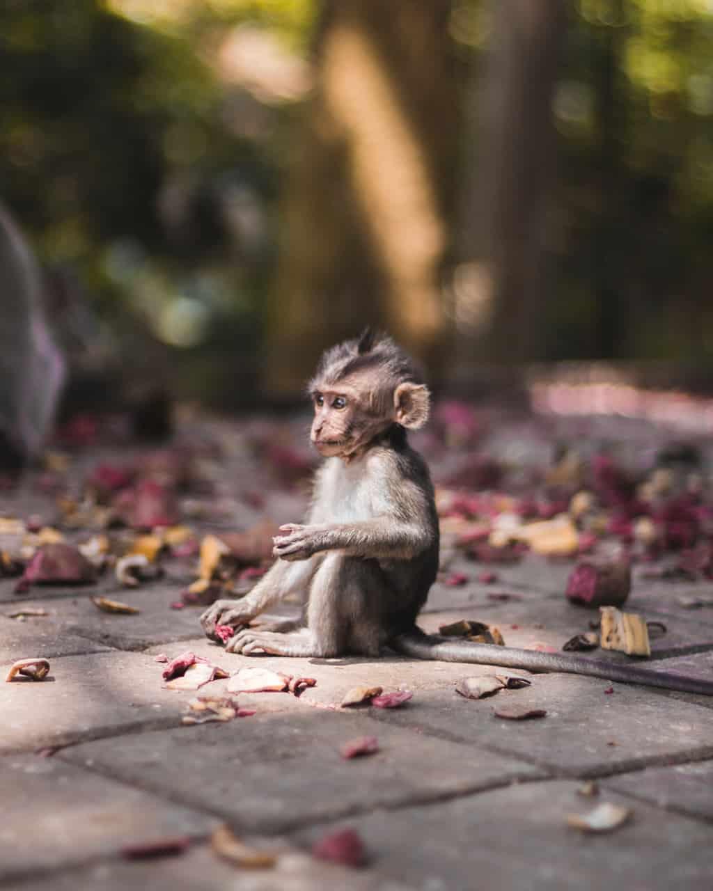 monkey-forest-ubud-baby
