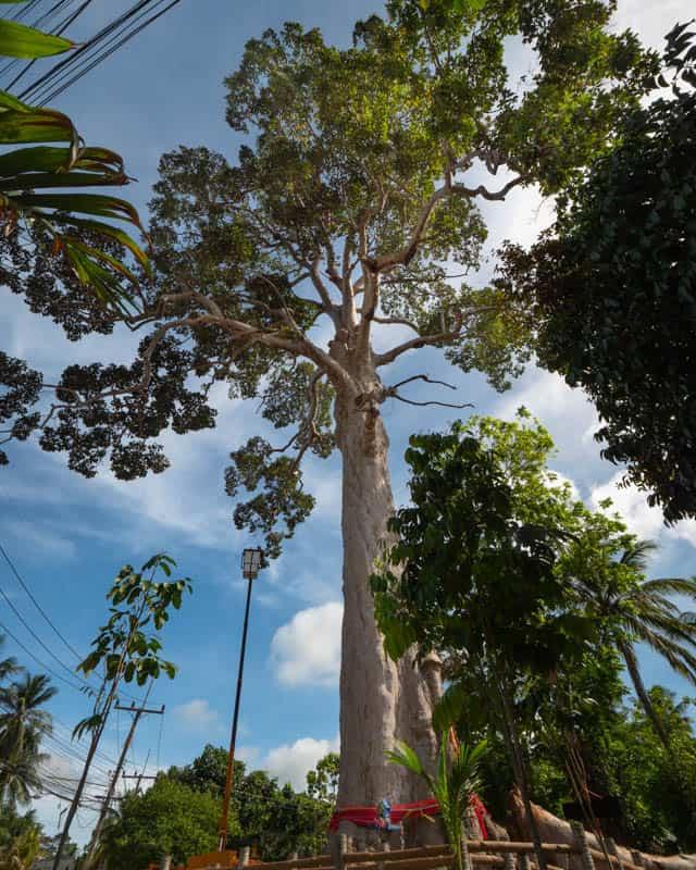 Biggest-Yang-Na-Tree-koh-phangan