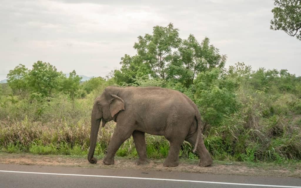safari-sri-lanka-elephant-walking-road
