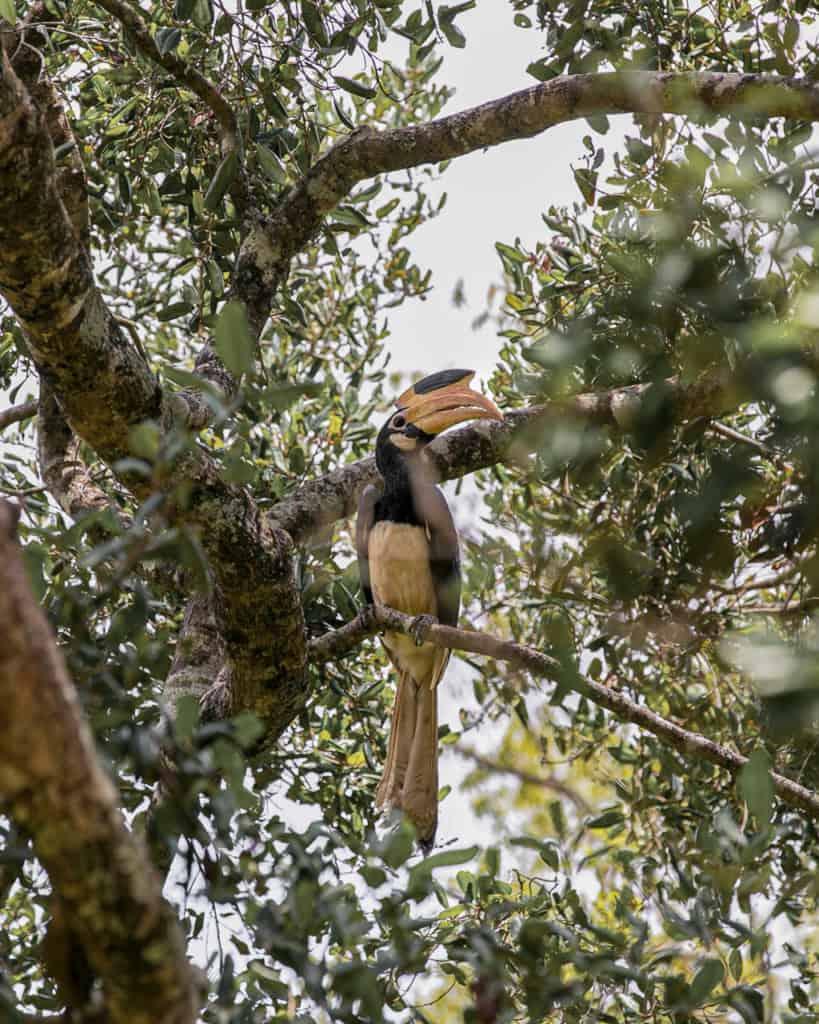 safari-sri-lanka-hornbill