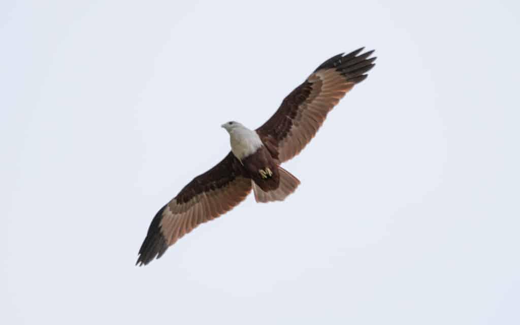 safari-sri-lanka-kaudulla-bird-flying