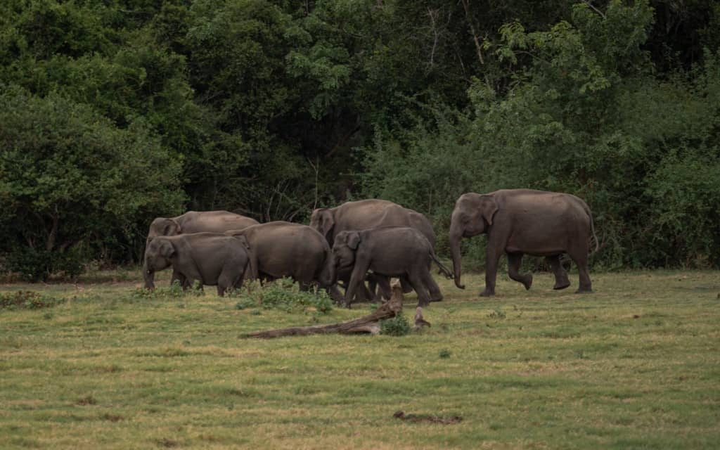 safari-sri-lanka-kaudulla-herd-elephants