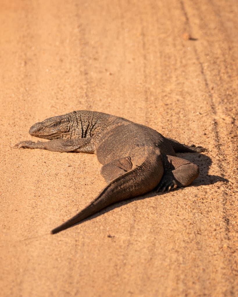 safari-sri-lanka-monitor-lizard