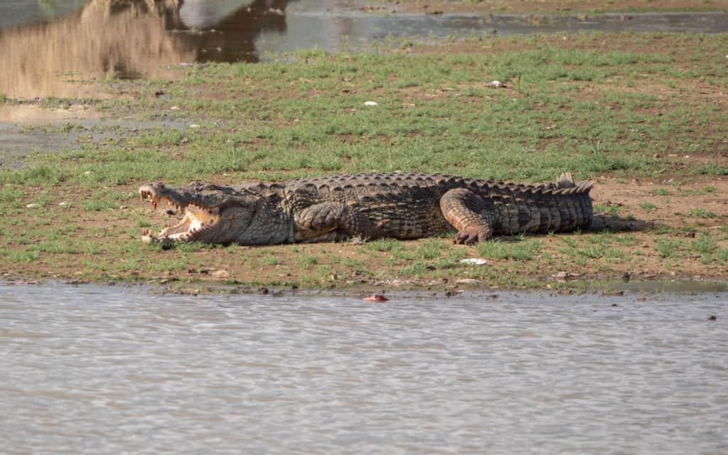 safari-sri-lanka-yala-crocodile