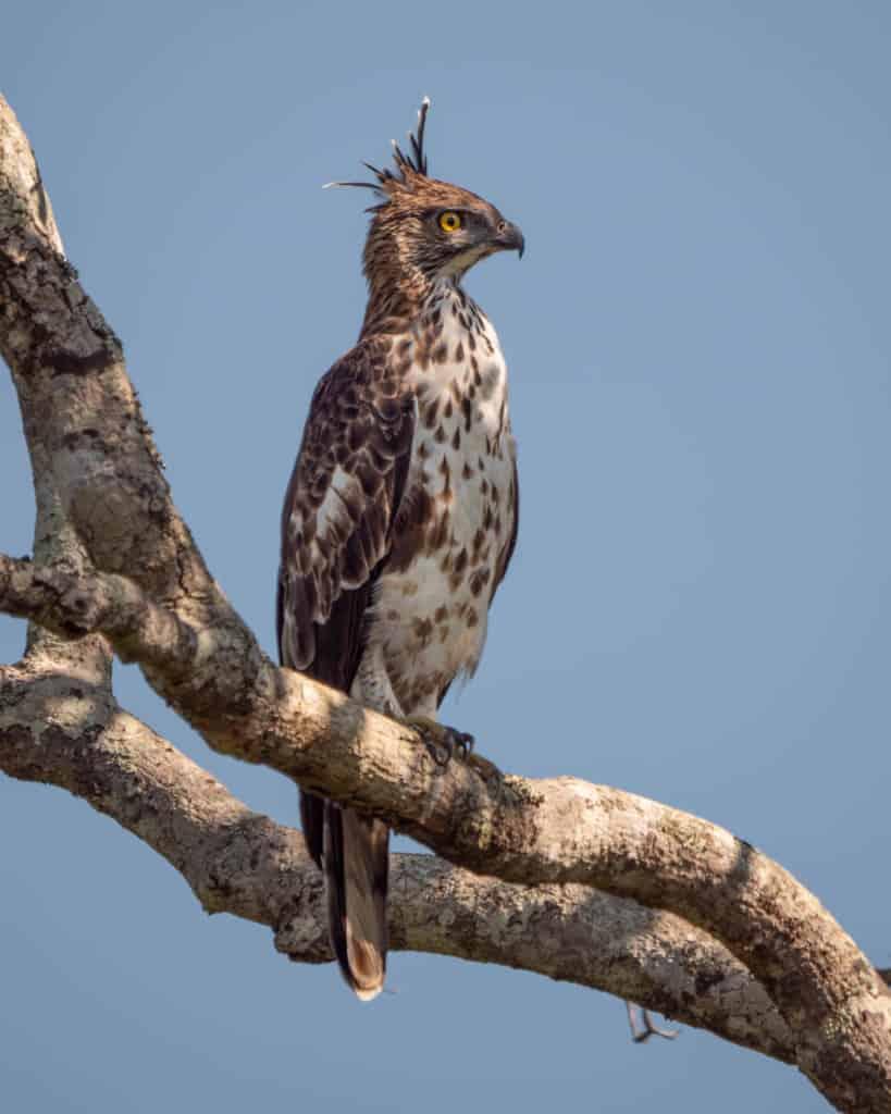safari-sri-lanka-yala-eagle
