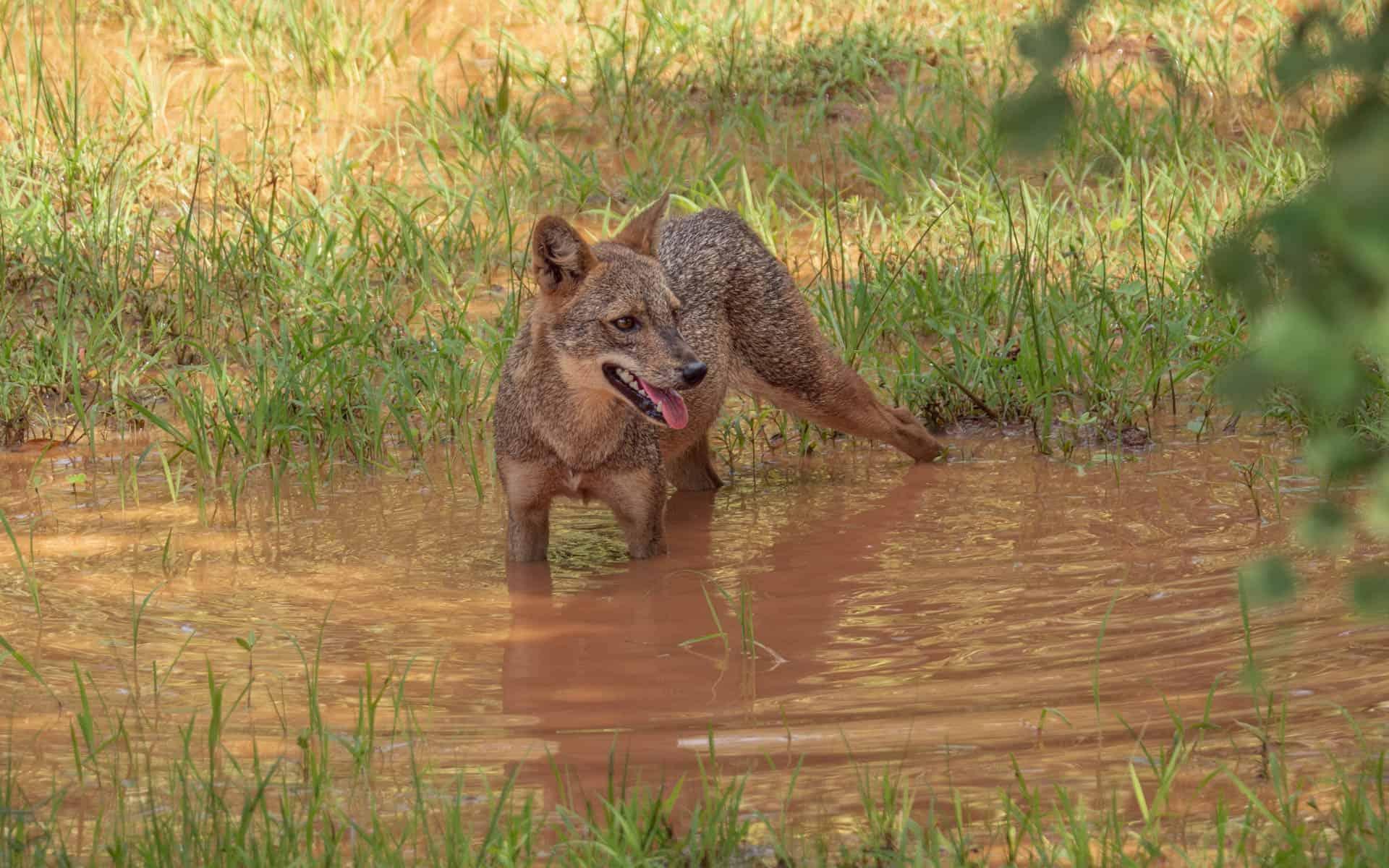 sri-lanka-safari-yala-jackal