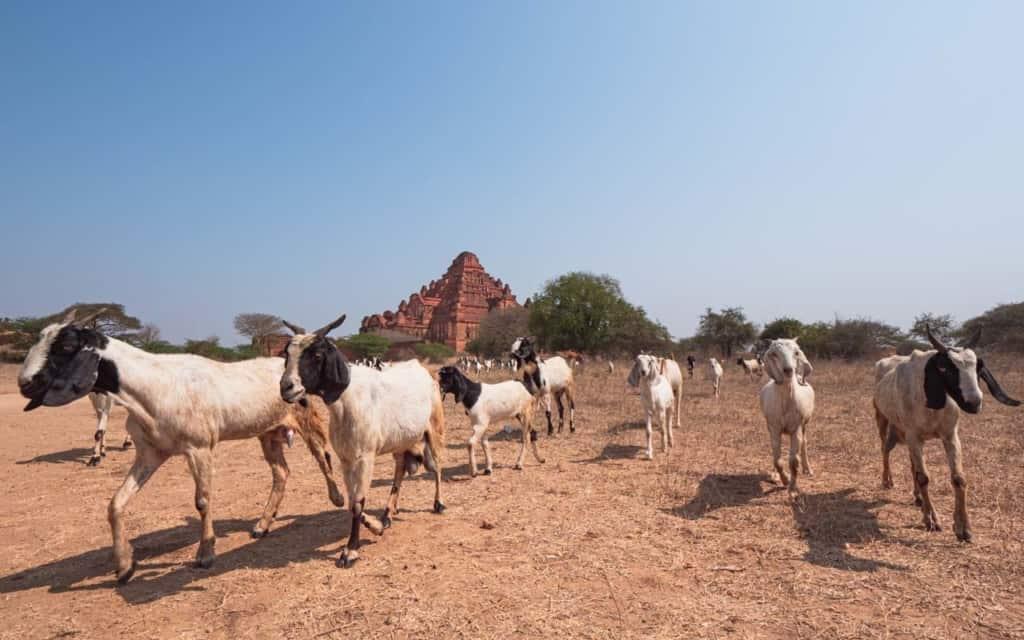 local-herd-bagan