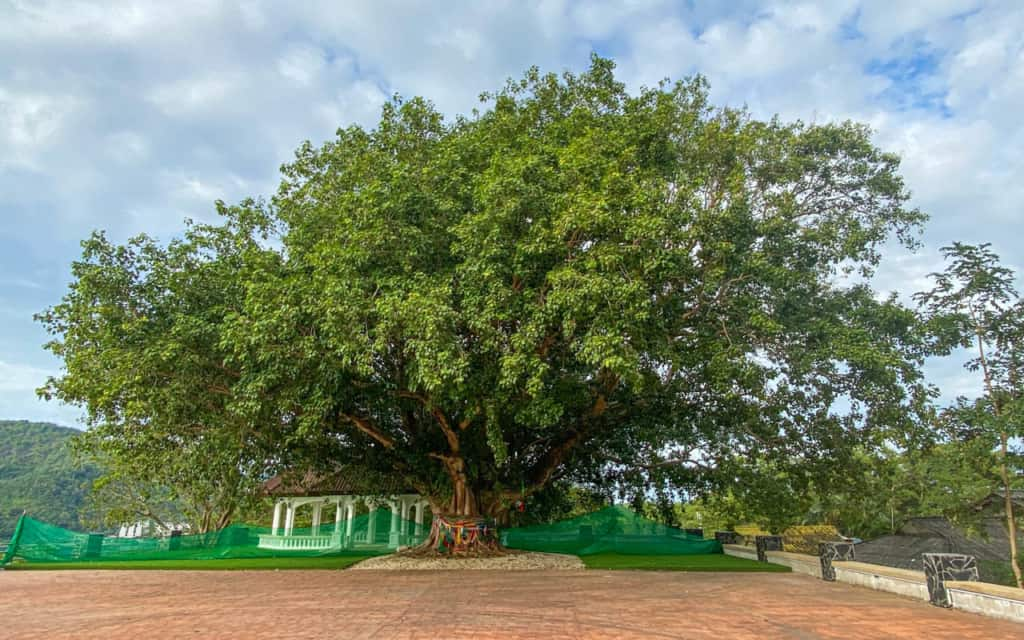 holy-tree-cape-phuket